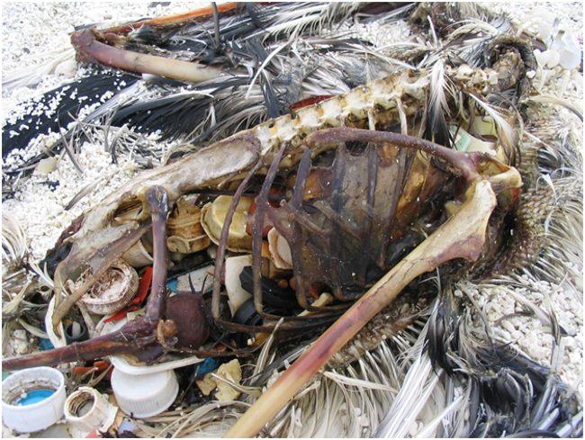 скелет птицы, поглотившей пластик