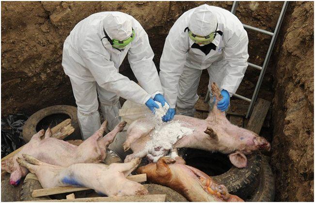 свиньи в биотермической яме
