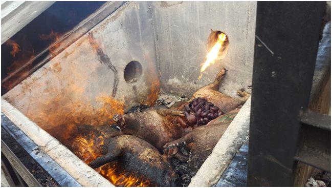 сжигание трупов свиней